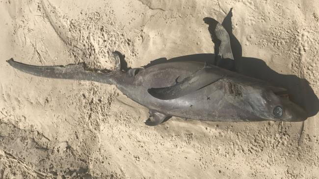 Tim Scantlebury found what he said was a juvenile thresher shark at Mermaid Beach. Pic: supplied.