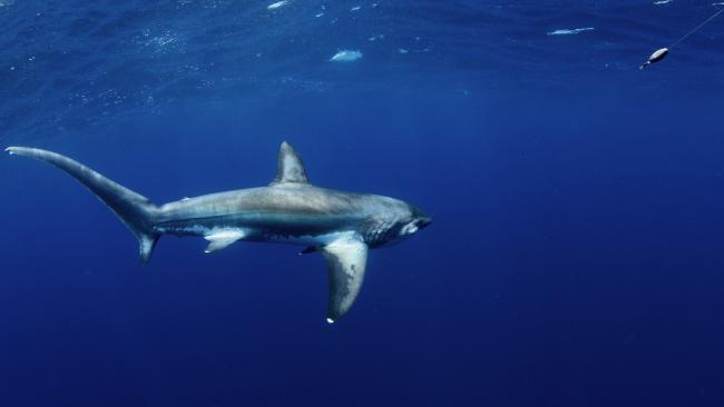 A thresher shark.