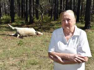 Cattle shot at Torbanlea