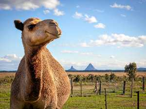 The Coast camel milk farmers now exporting to Singapore