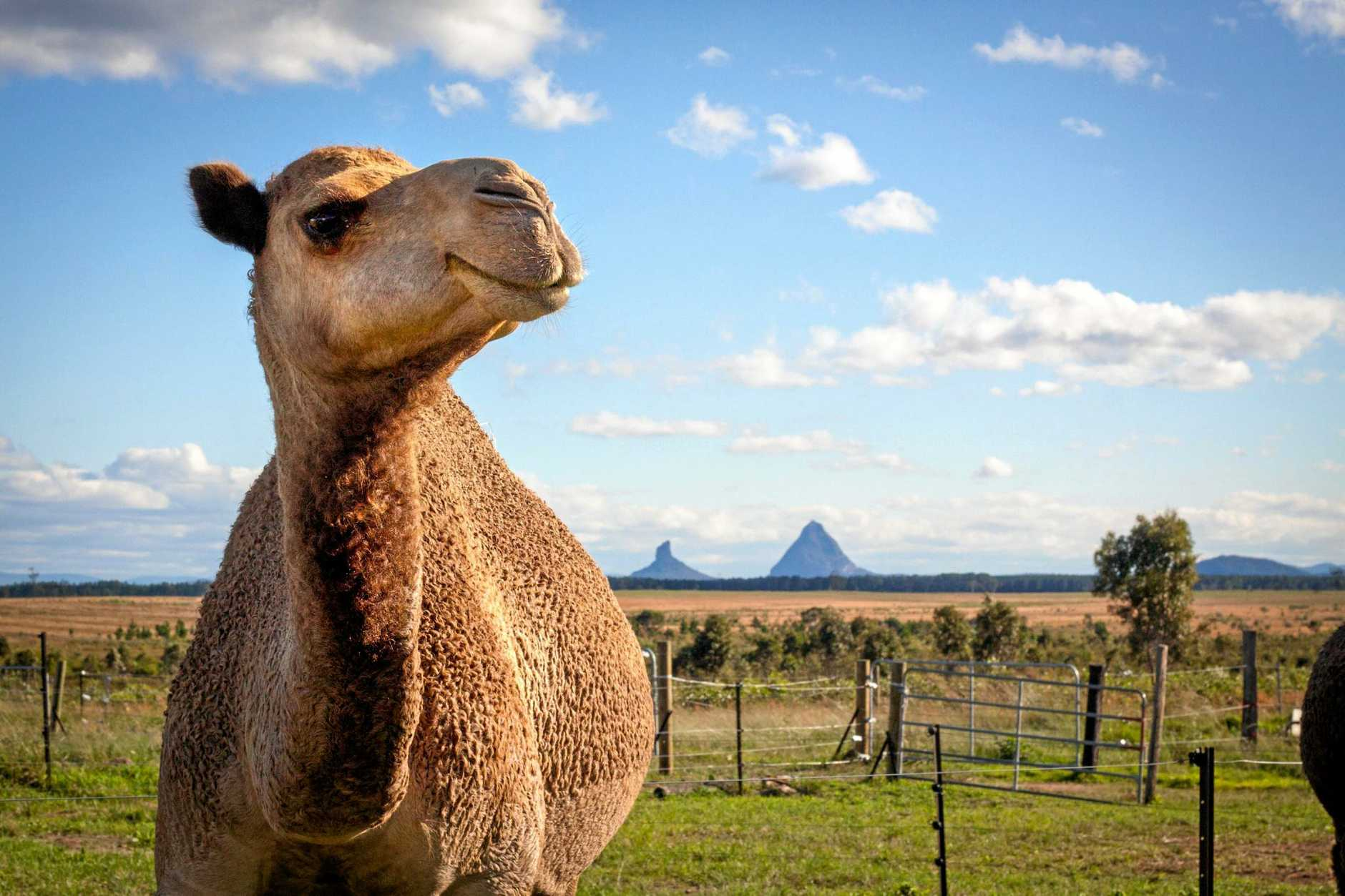 Live it Tours is offering a behind-the-scenes experience of the Sunshine Coast's QCamel farm.