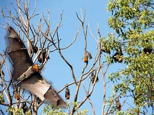 New taskforce to speed up flying fox dispersal