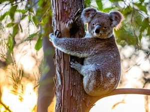 Koala spotters keep a friendly eye on Gympie's wildlife