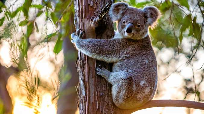 Gympie Times photographer Leeroy Todd was so excited last year to see a koala in the wild for the first time. He snapped this picture while on a walk in Amamoor's Cedar Grove.