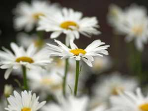 GARDENING: I'll give you a daisy a day, dear