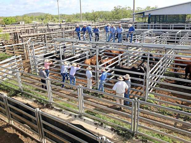 Busy selling at the Gracemere cattle saleyards.