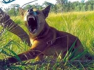 Baiting program to snag wild dogs