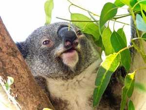 Koala spotting reminds community of their plight