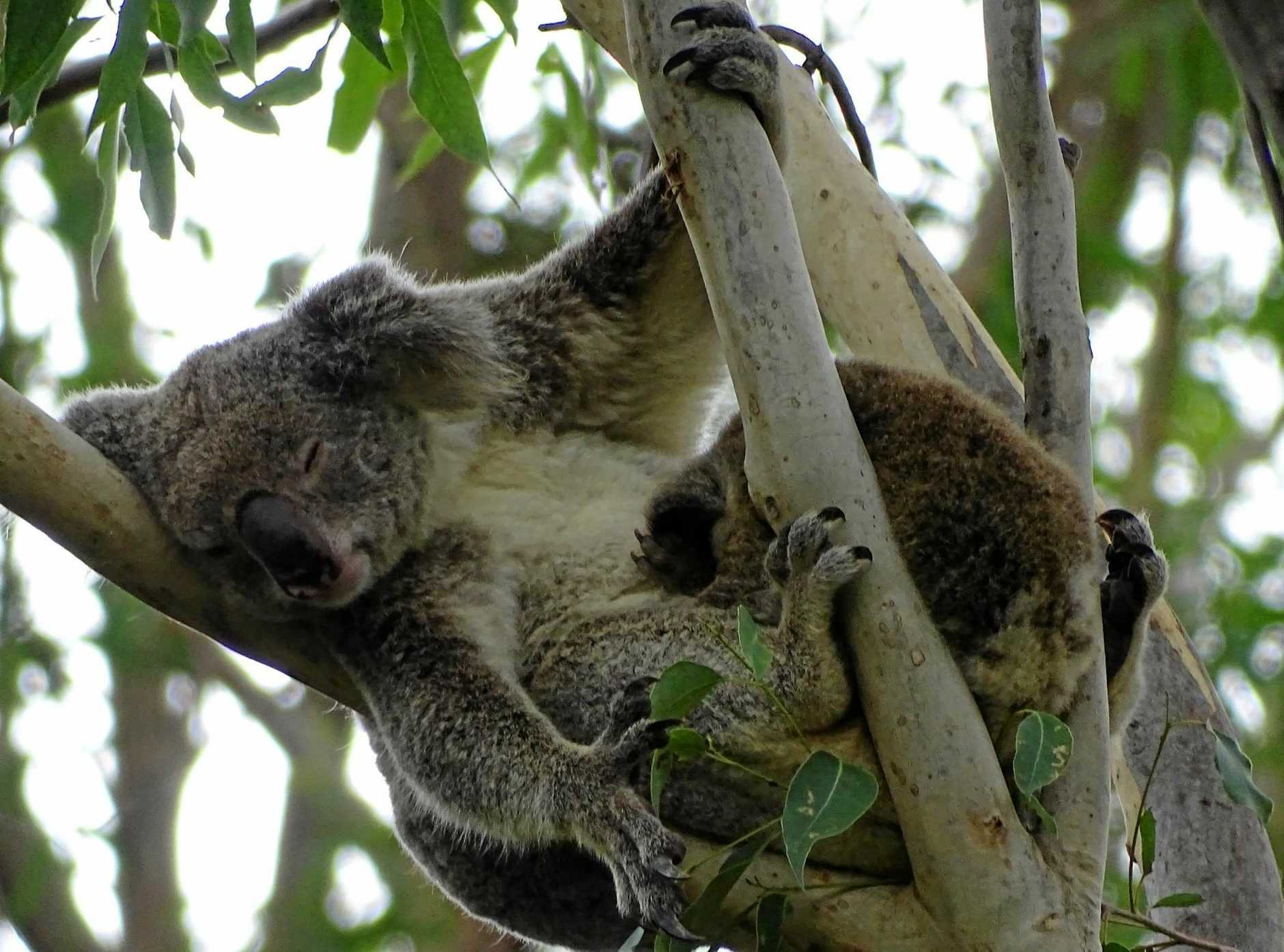 CASH FOR KOALAS: The World Wide Fund wants next week's Federal Budget to  include funding for more national park land to protect the critical habitats of threatened wildlife such as the koala and tiger quoll.