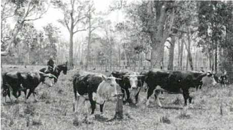 Historic image of the Cootharaba hereford herd that built the genetic base of the stud.
