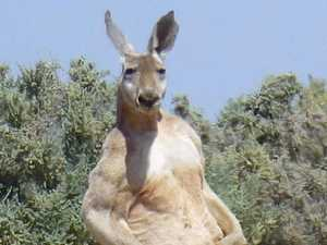 Check out the size of this 'roo
