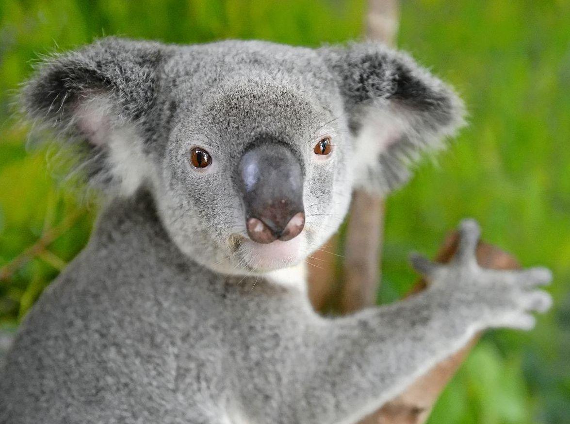 WWF-Australia wants Federal Budget funding to provide koala sanctuaries on the Sunshine Coast.