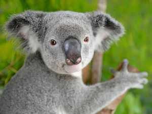 Call to make hinterland a 'Noah's Ark' for koalas