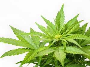 Medicinal marijuana firm plans to plug supply gap
