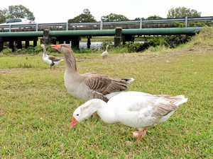 Drivers horrified at car hitting geese, one maimed and killed
