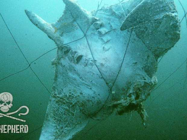 Death nets: On April 23, 2017, divers from the Sea Shepherd vessel Grey Nurse, observed a decomposed mobula ray. The group are now questioning how often the shark nets were effectively checked. by DPI contractors.