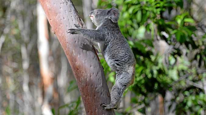 DJ the koala.