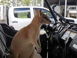 Teemburra wallaby gets lost visiting friends