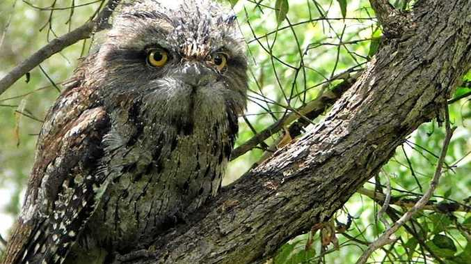 HOOT: Tawny frogmouths are coming to the attention of WIRES.