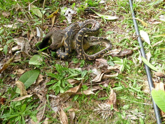 Mr Karu said the snake took 20 minutes to eat the possum.