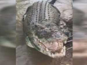Hand feeding a giant croc.