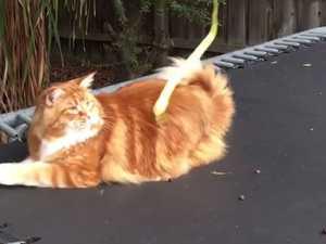 Omar: Australia's giant cat