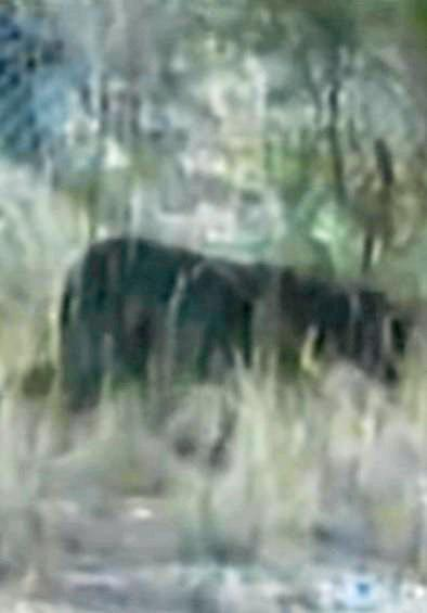 File footage from 2001 of an alleged panther sighting in Australia.