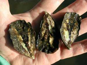 Can these oysters survive the Richmond River?