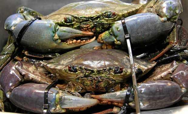 Fresh mud crabs.
