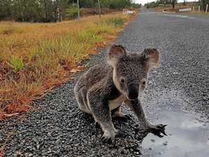 Alarming report: local extinctions for NSW koalas