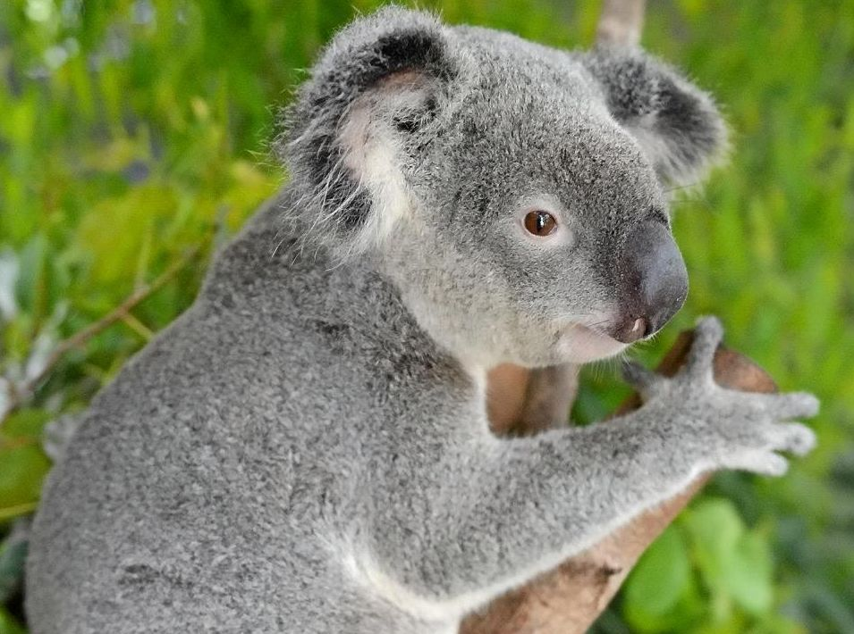 THE battle has been engaged to save from broad scale clearing what's left of the state's native vegetation home to Queensland's koala and other endangered species' habitat.