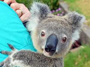 Only you can help save our local koalas