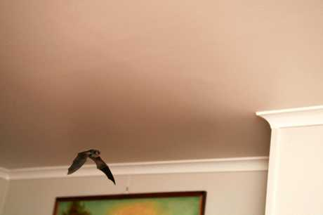 VISITORS: Ileraine Nicholls has had about 40 bats invade her Norville home.