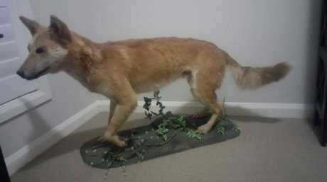 Taxidermied dingo for sale on Gumtree in Toowoomba.