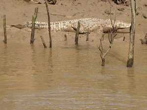 SPOTTED: Crocodile sighted in Great Sandy Strait