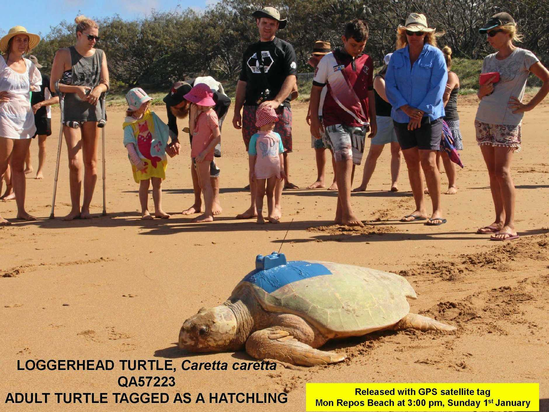 SWIMMING SENSATION: The record-setting turtle loggerhead from Mon Repos swam a marathon 2000km from Bundaberg to her home in the Torres Strait in three months, and is the focus of World Turtle Day today.