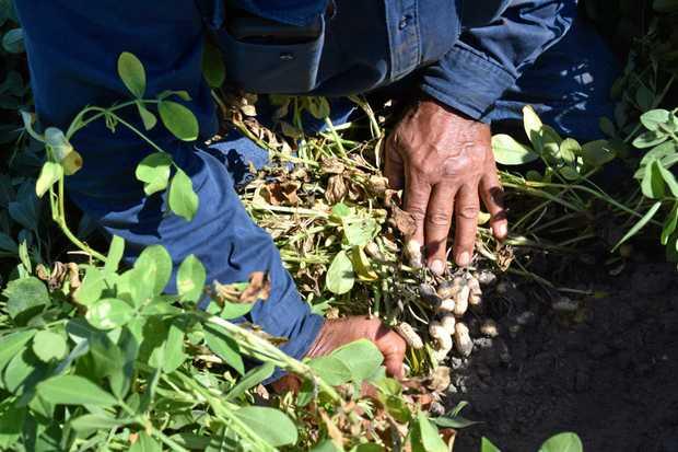 PEANUTS: A farmer inspects his peanut crop.