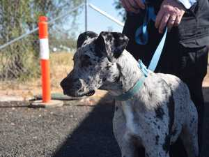 This spotty little lady is a 6-month-old great dane
