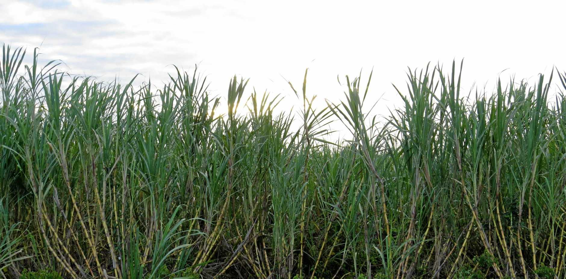 As crushing approaches, the condition of the cane is not expected to yield a bumper crop