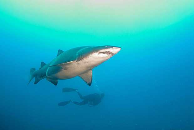 STUNNING: A dive at Rainbow Beach's Wolf Rock on the weekend gave divers an up-close encounter with more than 20 sharks.