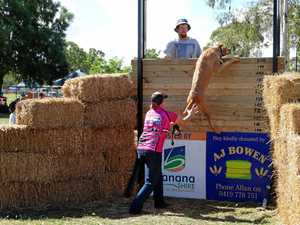 OVER HE GOES: Henry jumps in the final round of the Callide Valley Show Dog High Jump competition.