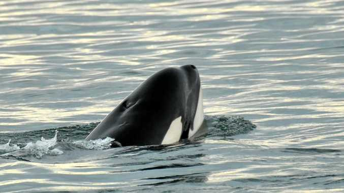 A killer whale like this one was reportedly seen by a fisherman off the coast of Ballina yesterday.