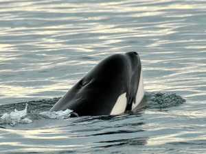 Are killer whales cruising our coastline?