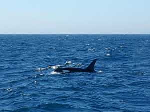 Call out for killer whale sightings