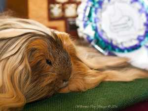 This is Queensland's biggest Guinea Pig show. There will be over 300 guinea pigs on show. Judged by two leading Judges from New Zealand.