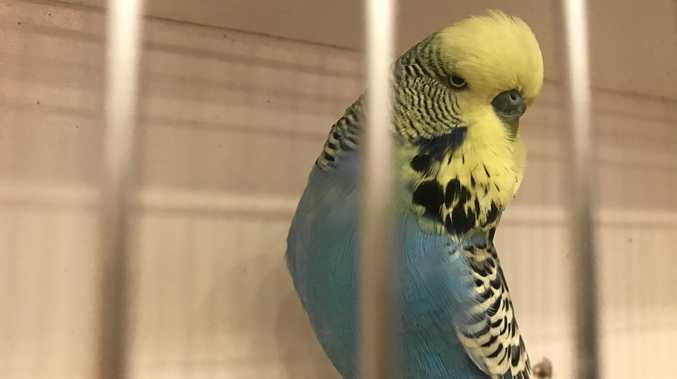 BUDGIES ON SHOW WHAT: 2017 ANBC National Budgerigar Championships Show WHEN: May 26 to May 30 First day of competition begins 9am Saturday. WHERE: MECC, Cnr Alfred & Macalister Streets, Mackay. DETAILS: This weekend at the MECC, the Australian National Budgerigar Chanpionship will be chirping away, with competitors flocking to Mackay from all over the country. Each team will present three birds from the 27 varieties of budgerigars and will be judged on their size, their shape, the head quality.
