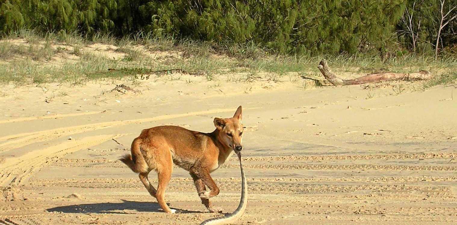 A hungry dingo on Fraser Island.