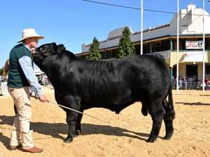 James Dockrill from Clovass handles the winner on the day Flemington Like A Cat at the Cattle Competition at Casino Beef Week.