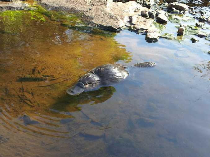 Broken River at Eungella near Mackay is the Platypus capital of the world. Photo: Contributed