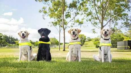 NEW FACE: Toowoomba's Guide Dogs team welcomes a new dog to its squad. Guide Dogs Queensland doesn't reveal the names of the dogs for learning purposes.